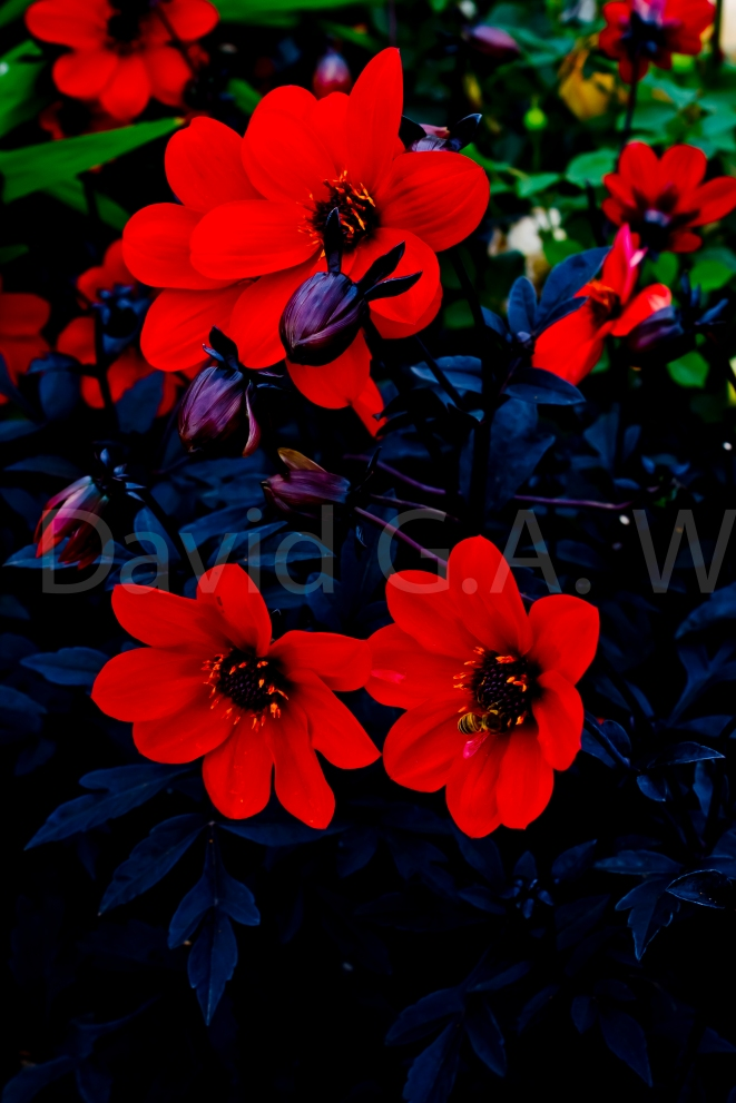 Wallflower: Beauty Burns So Bright, So Fast….: - I took this image at the 2014 Hampton Court Flower show. Its beauty stands for it self. I have not altered the colours. They are as in life.