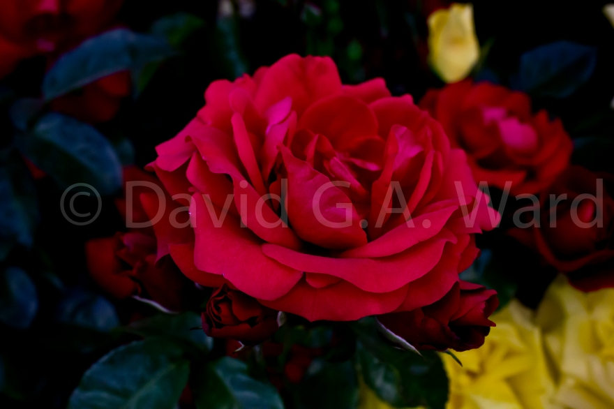 The Red Rose Runs Deep: This is one of my most favourite images. I took the image at the 2014 Hampton court Flower show. The colours are so sublime. I have not enhanced them in any way. They are as they were in life.